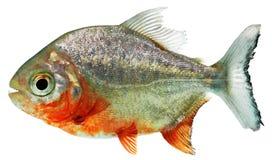 Рыбы Piranha Стоковая Фотография