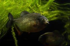 Рыбы Piranha Стоковое Изображение