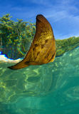 Рыбы Platax в réflexion Стоковое Фото