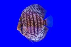 Рыбы Pompidou Стоковые Фото