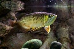 Рыбы Scleropages стоковые изображения