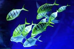 Рыбы speciosus Gnathanodon стоковые изображения rf