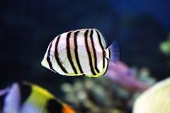 рыбы striped немногая Стоковое Изображение RF
