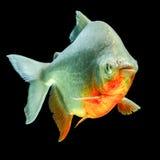 Рыбы Tambaqui Pacu Стоковое Фото