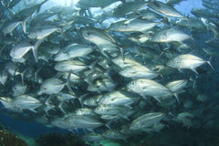 Рыбы Trevally школы (рыбы Джека) Стоковые Фотографии RF