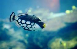 Рыбы Triggerl клоуна Стоковое Изображение