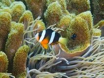 Рыб-клоун Стоковые Изображения