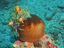 Рыб-клоун Стоковая Фотография RF