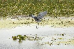 Рыжеватая посадка egret в болоте в рождестве, Флориде Стоковое Изображение RF