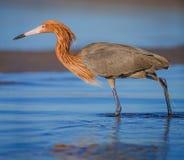 Рыжеватая рыбная ловля egret пока надевающ его размножение красного цвета оперяет стоковое изображение rf
