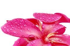 Рыжеватое розовое fower лилии Canna с падением воды Стоковое Изображение RF