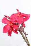 Рыжеватое розовое fower лилии Canna с падением воды Стоковое Фото