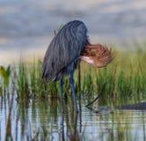 Рыжеватые загибы egret, который нужно прихорашиваться стоковое фото rf