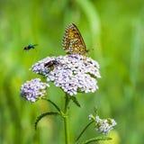 Рыжеватый Checkered цветок бабочки (aurelia Melitaea) Стоковое Изображение RF