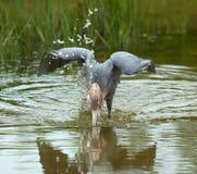 Рыжеватый egret ввергая свою голову в воду в Флориде Стоковое фото RF