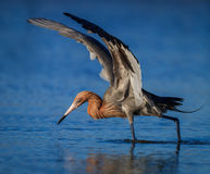 Рыжеватый egret в рыбной ловле оперения размножения в пруде в Флориде стоковые фото