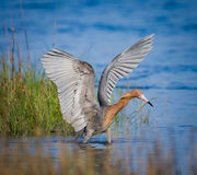 Рыжеватый egret с рыбной ловлей распространения крылов стоковые изображения rf