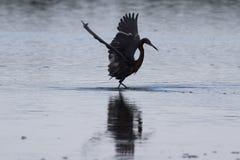 Рыжеватый Egret фуражируя, j n & x27; & x27; Ding& x27; & x27; Живая природа соотечественника милочки стоковое фото rf