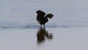 Рыжеватый Egret фуражируя, j n & x27; & x27; Ding& x27; & x27; Живая природа соотечественника милочки стоковые изображения