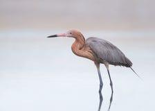 Рыжеватый Egret стоковая фотография rf
