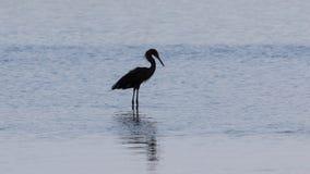 Рыжеватый Egret, j n & x27; & x27; Ding& x27; & x27; Охраняемая природная территория милочки национальная, s стоковое фото