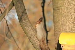 Рыжеволосая белка на ветви в парке Стоковое фото RF