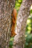 Рыжеволосая смертная казнь через повешение белки на дереве с гайкой Стоковые Фотографии RF