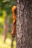 Рыжеволосая смертная казнь через повешение белки на дереве с гайкой Стоковые Изображения RF