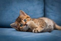 Рыжеволосый милый великобританский котенок смешной лежать на голубом кресле стоковая фотография
