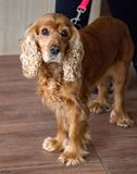 Рыжеволосый spaniel кокерспаниеля собаки с грустными и красивыми глазами стоковое фото rf