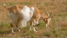 Рыжеволосая коза акции видеоматериалы