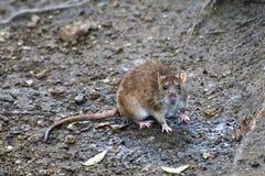 Рыжеволосая крыса Стоковые Изображения RF