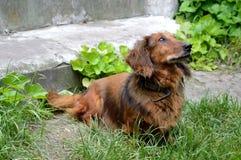 Рыжеволосая собака dachhund Стоковые Фото