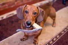 Рыжеволосая такса породы собаки стоковые фото