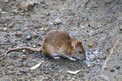 Рыжеволосые вдохи крысы Стоковая Фотография RF