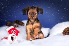 Рыжеволосый щенок терьера игрушки Стоковые Изображения