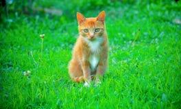 Рыжий кот на зеленой траве стоковая фотография rf
