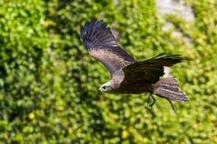 Рыжий орел, rapax Аквила большая хищная птица стоковое изображение rf