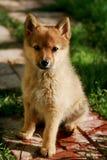 Рыжий щенок стоковые фотографии rf