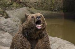 Рык бурого медведя Стоковые Фото