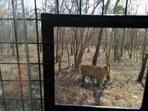Рык тигра Стоковая Фотография RF