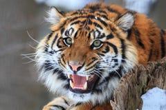 Рык тигра стоковые изображения rf