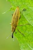 рыльце жука Стоковые Изображения