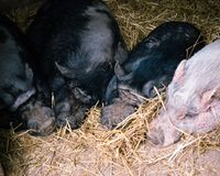 Рыльце спать 4 Potbellied свиней, который нужно Snout Стоковая Фотография