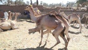 Рынок верблюда в городе Daraw, Египта видеоматериал