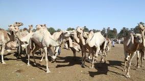 Рынок верблюда Daraw, Египет акции видеоматериалы
