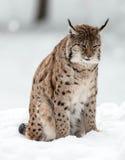 Рысь в зиме Стоковая Фотография