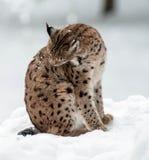 Рысь в зиме Стоковые Фотографии RF