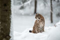 Рысь в зиме Стоковая Фотография RF