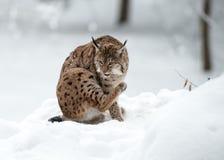 Рысь в зиме Стоковые Изображения RF
